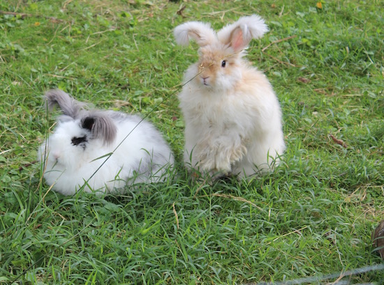 4 Reasons to Shear Your Angora Rabbit This Summer