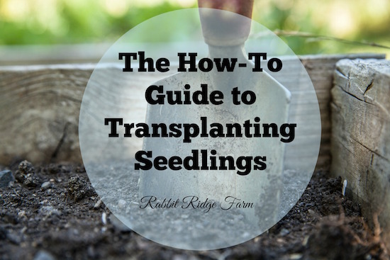 The How-To Guide to Transplanting Seedlings