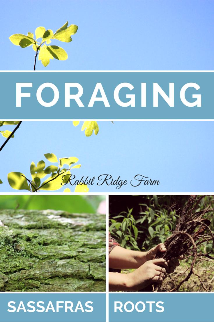 Foraging: Sassafras Roots
