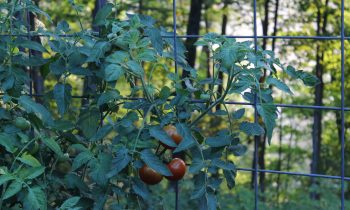 Our Favorite Tomato Varieties to Grow in Appalachia